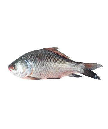 Katol Fish (কাতলা মাছ)