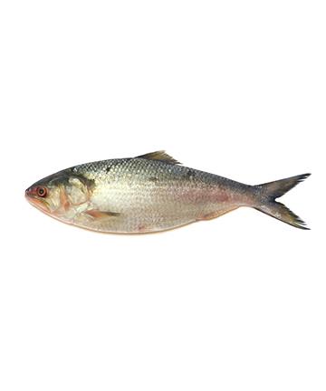 Hilsah Fish (ইলিশ মাছ)