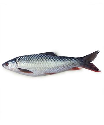 Mrigel Fish (মৃগেল মাছ)