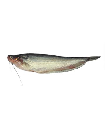 Pabda Fish (পাবদা মাছ)