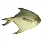 Pomfret (রুপচাদা মাছ)