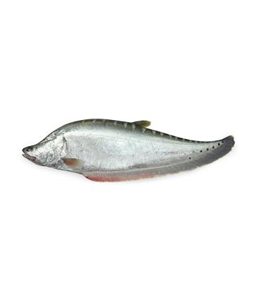 Chitol Fish (চিতল)