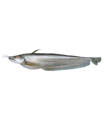 Indian Boal Fish (ইন্ডিয়ান বোয়াল মাছ)