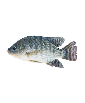 Tilapia Fish (তেলাপিয়া মাছ)