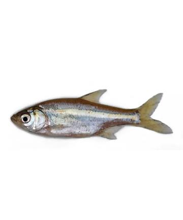 Mola Fish (মলা মাছ)